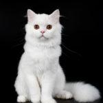 Белоснежный шотландский котенок