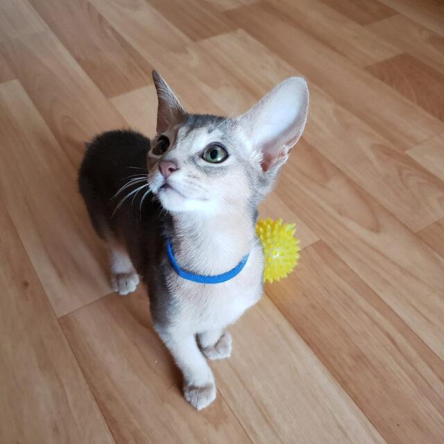 абиссинский голубой котенок 6