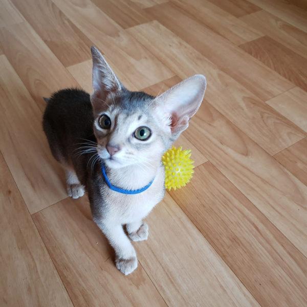 абиссинский голубой котенок 4
