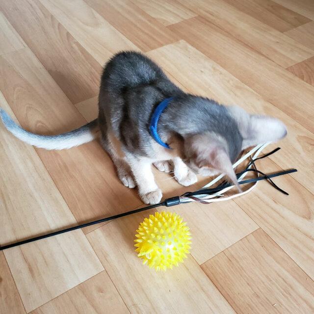 абиссинский голубой котенок 3