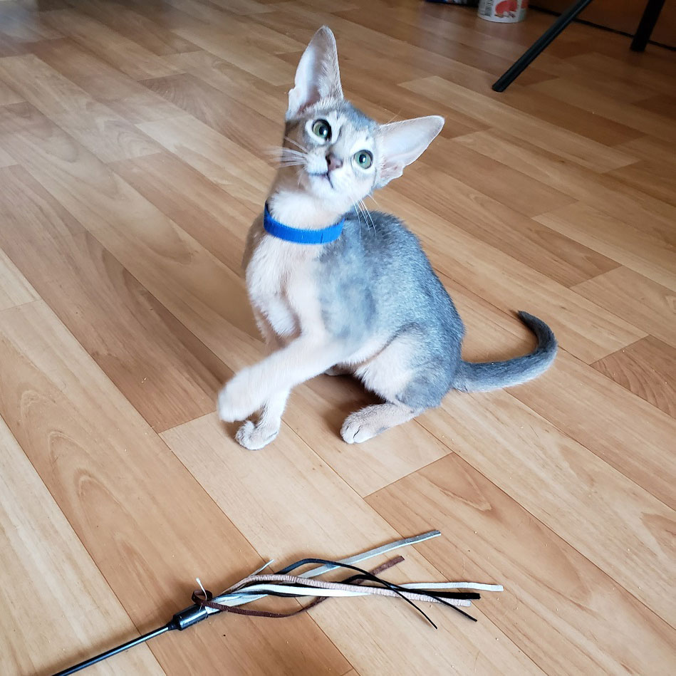 голубой абиссинский котенок