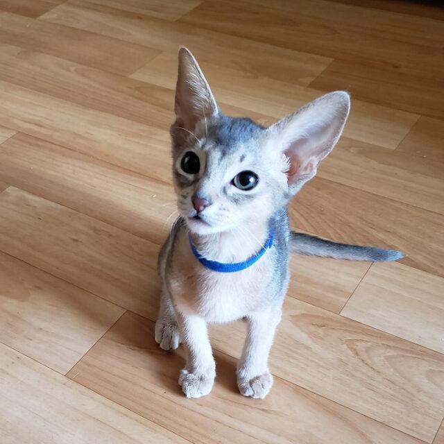 абиссинский голубой котенок 2