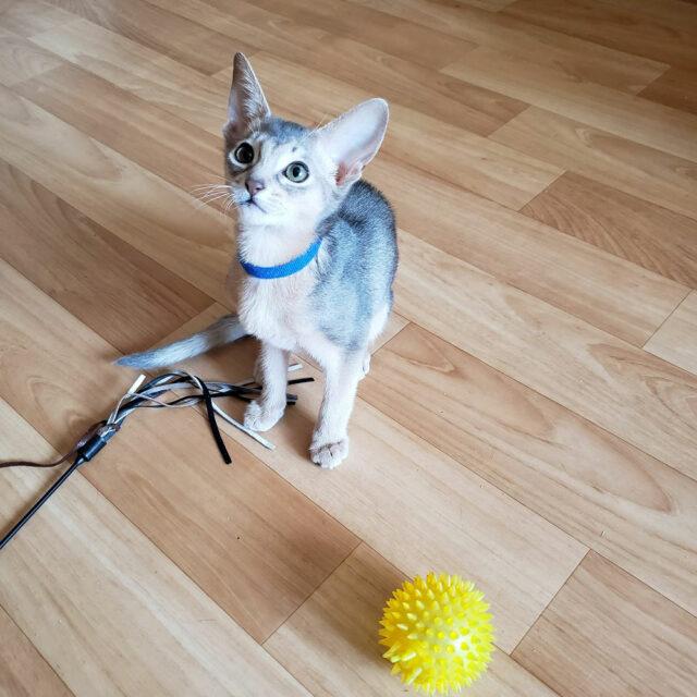 абиссинский голубой котенок 1