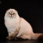 Шотландский котик хайленд — очень крупный, с аквамариновыми глазами, самый ласковый