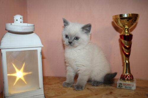 шотландский котенок Лютик