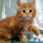 Очаровательная Оливия — красный мейн-кун