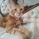 Мейн-кун Патрик — ласковый и игривый подросток