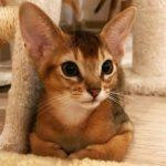 Милый абиссинский котик Бенджамин — ласковый и игривый