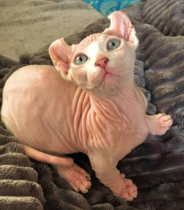 кошка породы двэльф белая