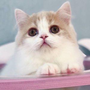 котенок хайленд-страйт соломон