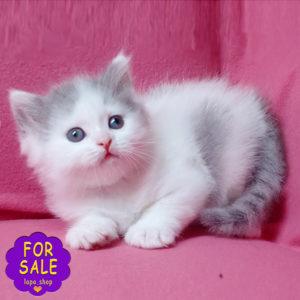 шотландське кошеня кольору блакитний арлекін
