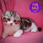 Висловухий котик кольору мармур на сріблі