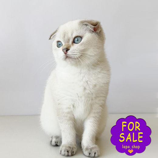Срібна висловуха кішка