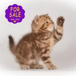 Шотландське кошеня кольору шоколадний мармур
