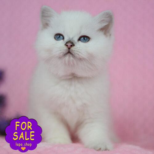 сріблястий британський котик