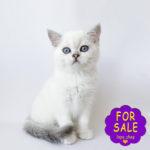 Срібний шотландський котик, перспективний для розведення