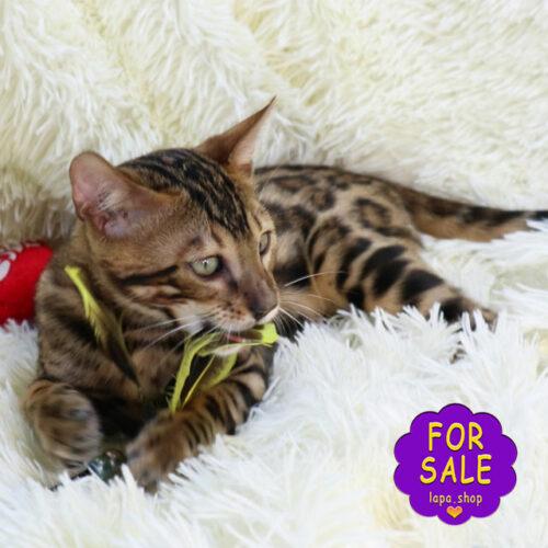 Бенгальский котик Люкс