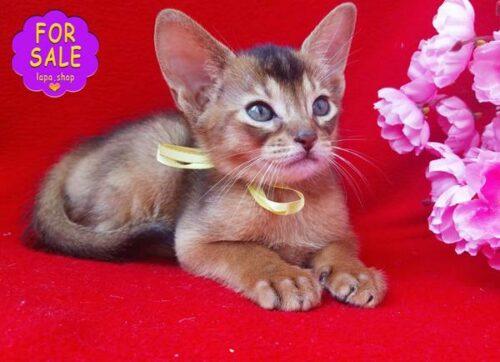абіссінський котик на ім'я Ендорфін