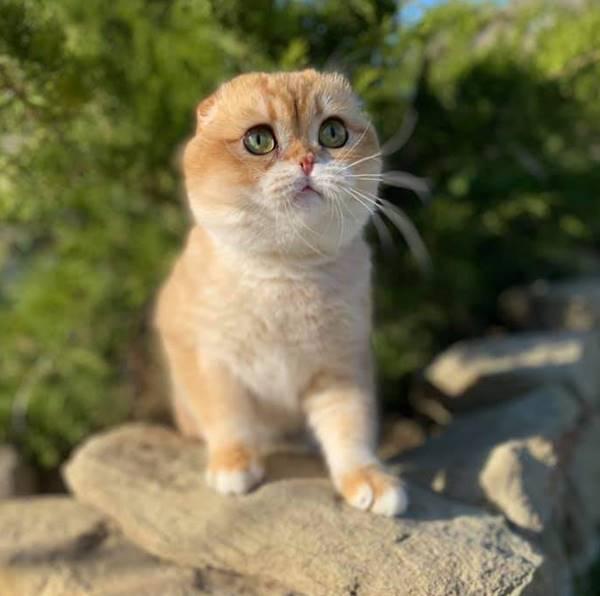 Елітне кошеня дорогоцінного кольору