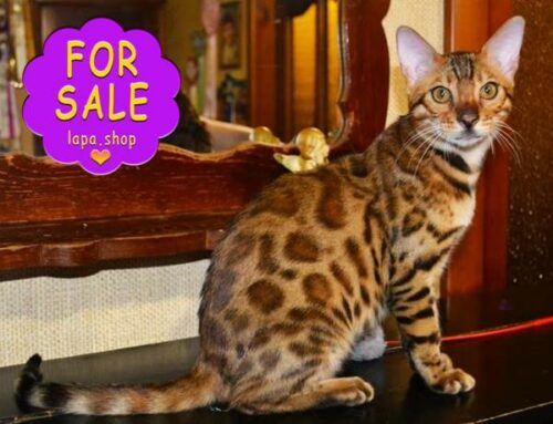 Бенгальський котик Нолан