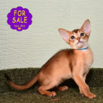Abyssinian girl Melissa for sale