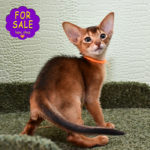 Abyssinian girl Molly for sale