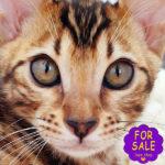 Бенгальська кішка Ніколь кольору розетки на золоті