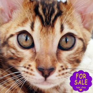 Бенгальська кішечка Ніколь