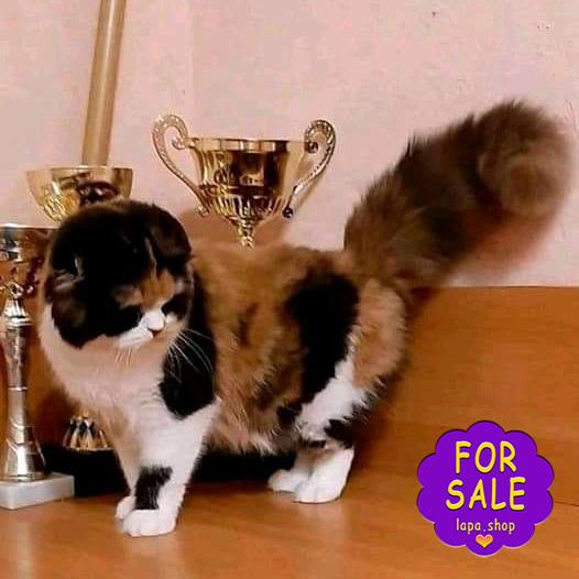 Шотландська кішка-чемпіонка шоу-класу