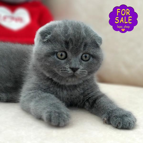 Блакитний висловухий котик