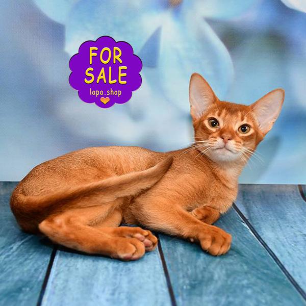 Абіссінська кішка на ім'я Монро