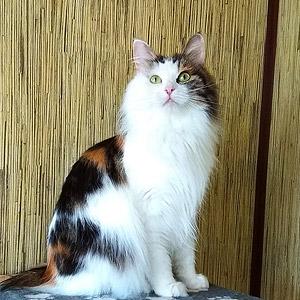 Миле курильське кошеня Одіссей