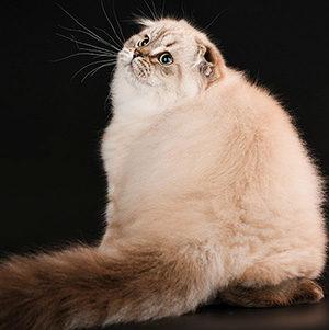 Сколько стоит породистый котенок и за что вы на самом деле платите?