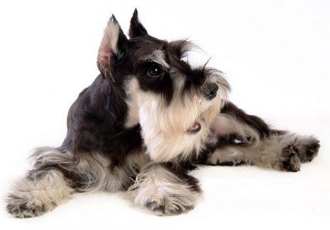 Индивидуальный подбор щенка цвергшнауцера